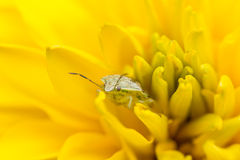 Tiny insect on a yellow flower Royalty Free Stock Photo