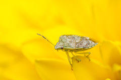 Tiny insect on a yellow flower Royalty Free Stock Photography