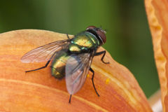 Tiny Iridescent Fly Sunbathing on an Orange Day Lilly. Tiny little brightly colored fly enjoying the summer day on an orange day lilly Stock Images