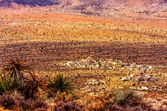 Colorful Desert with Many Joshua Trees. Tiny Joshua Trees spread out all over the desert floor Stock Photos