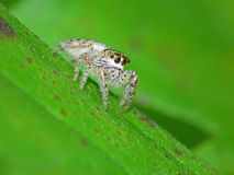 Tiny Jumping Spider on Leaf Stock Photography