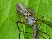 Tiny Jumping Spider on Leaf with Crane Fly Prey Stock Photography