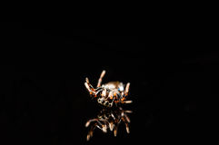 Tiny jumping spider with reflection isolated on black Stock Photos