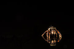 Tiny jumping spider with reflection isolated on black Stock Image