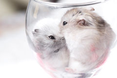 Tiny Jungar hamsters together in a glass Stock Image
