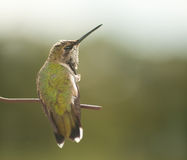 Tiny juvenile male Hummingbird scratching Royalty Free Stock Photos
