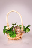 Tiny kitten in basket Stock Photos
