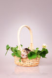 Tiny kitten in basket Stock Image