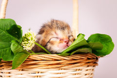 Tiny kitten in basket Royalty Free Stock Photography