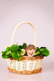 Tiny kitten in basket Royalty Free Stock Photo