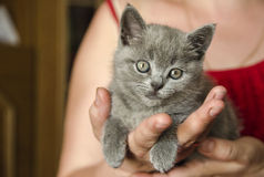 Tiny Kitten. In the hands Stock Image