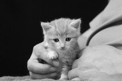 Tiny kitten on a lap. Cute tiny orphan kitten sitting on the lap of his foster carer, paw resting on her finger royalty free stock photography