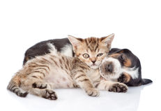 Tiny kitten and sleeping basset hound puppy together. isolated. On white stock photography