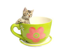 Tiny kitten in tea cup Royalty Free Stock Photography