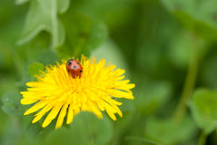 Tiny ladybird (Coccinellidae) Stock Photography