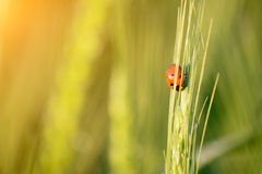 Tiny ladybird resting on wheat ear Royalty Free Stock Photography
