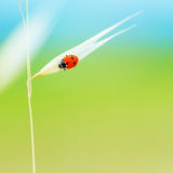 Tiny ladybird on wheat stem Royalty Free Stock Images