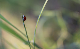 A tiny ladybug. A ladybug exploring the grass Stock Image