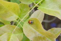 Tiny Ladybug On Her Palace of Leaves. Precious little ladybug on her throne of leaves Royalty Free Stock Image