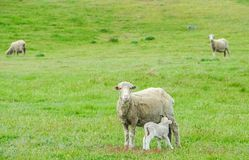 Tiny lamb suck up milk from white sheep in green field in New Zealand. Tiny lamb suck up milk from white sheep in green field farm in New Zealand Royalty Free Stock Photo