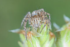 Tiny linx spider Royalty Free Stock Photo