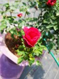 Tiny little beautiful red rose royalty free stock photo