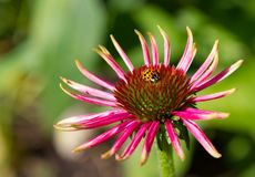 Beetle hitching a ride on an echinacea Royalty Free Stock Photography
