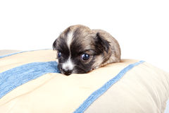 Tiny little Chihuahua puppy on golden silk cushion. Against white background Royalty Free Stock Image