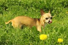 Tiny little dog Stock Photography