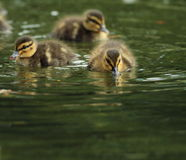 Tiny little ducklings on water. Flock of tiny little ducklings on water ( mallard duck, Anas platyrhynchos Royalty Free Stock Images