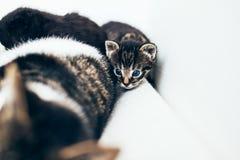 Tiny little kitten peering around its mother. Stock Photography