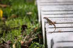 Lizard chilling on a concrete step royalty free stock photography