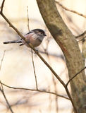 The tiny Long-tailed Tit Stock Photography