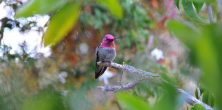 Colorful Male Anna Hummingbird Attracting Its Mate stock images
