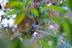 Colorful Male Anna Hummingbird Attracting Its Mate. Tiny male Anna`s Hummingbird sitting on a branch showing off his beautiful colors to his mate with royalty free stock images