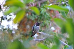 Colorful Male Anna Hummingbird Attracting Its Mate. Tiny male Anna`s Hummingbird sitting on a branch showing off his beautiful colors to his mate with stock image