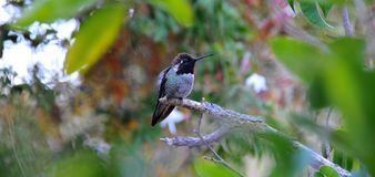 Colorful Male Anna Hummingbird Attracting Its Mate. Tiny male Anna`s Hummingbird sitting on a branch showing off his beautiful colors to his mate with stock images