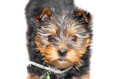 Tiny male cupcake yorkie dog. A head shot of a tiny male cupcake yorkie dog Stock Photo