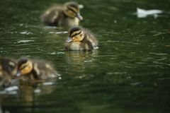 Tiny mallard duck Royalty Free Stock Photo