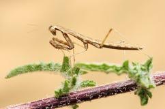 Tiny mantis Royalty Free Stock Photo