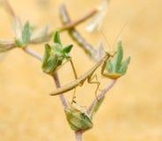 Tiny mantis Royalty Free Stock Photography