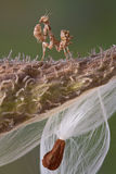 Tiny Mantis on Milkweed Royalty Free Stock Photo
