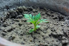 A Tiny Marigold Plant. royalty free stock images
