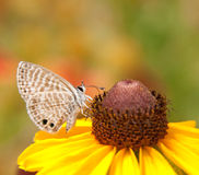 Tiny Marine Blue butterfly Royalty Free Stock Photo