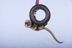 Tiny Marmoset monkey Stock Images