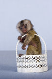 Tiny Marmoset monkey in white basket Stock Images