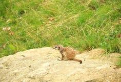 Tiny meerkat, also known as suricate, Suricata suricatta, sittin Royalty Free Stock Images