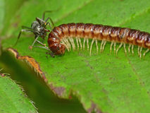 Tiny Millipede Attacked by Ant Stock Photo