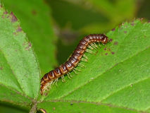 Tiny Millipede on Leaf Stock Photography