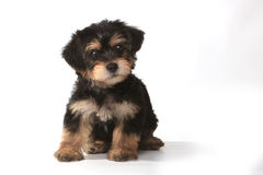 Tiny Miniature Teacup Yorkie Puppy on White Background Royalty Free Stock Photo